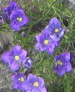 Нирембергия (Nierembergia)