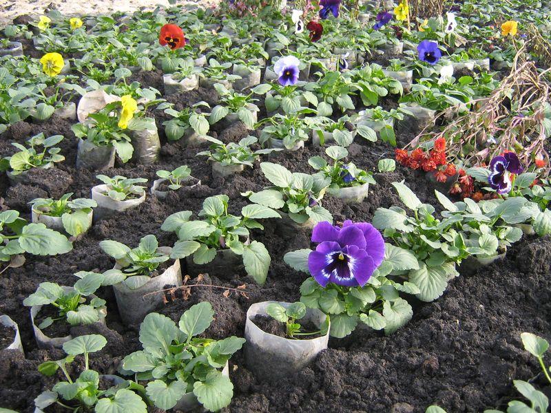 Виола рассада выращивание 80