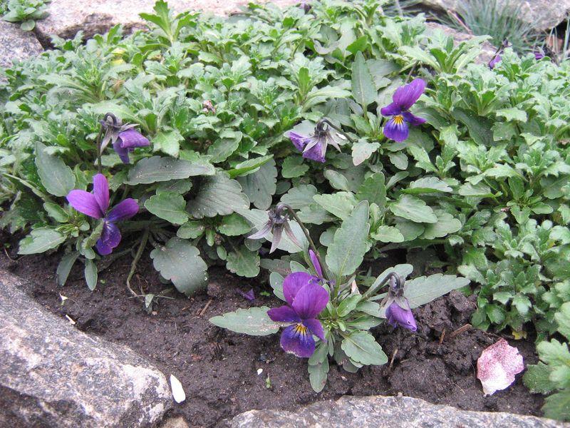 Виола выращивание рассады 59