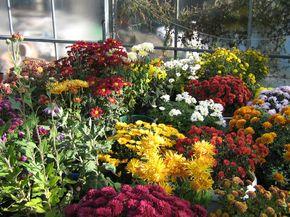 Цветы осенью. Хризантемы