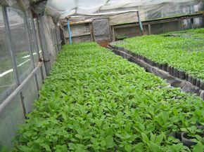 Практика выращивание рассады петунии в теплице.